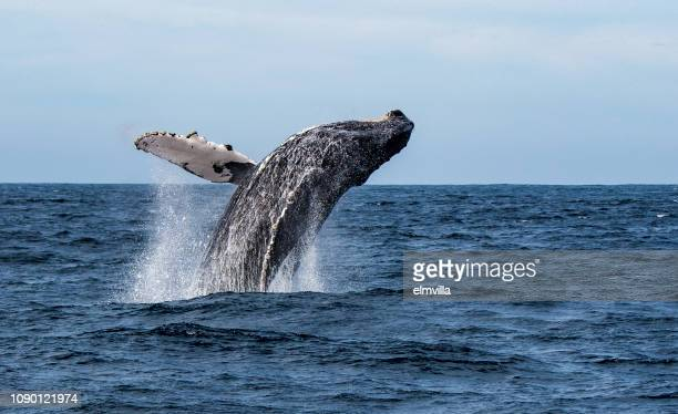 humpback whale breaching in sea of cortez, mexico - sea of cortez stock pictures, royalty-free photos & images