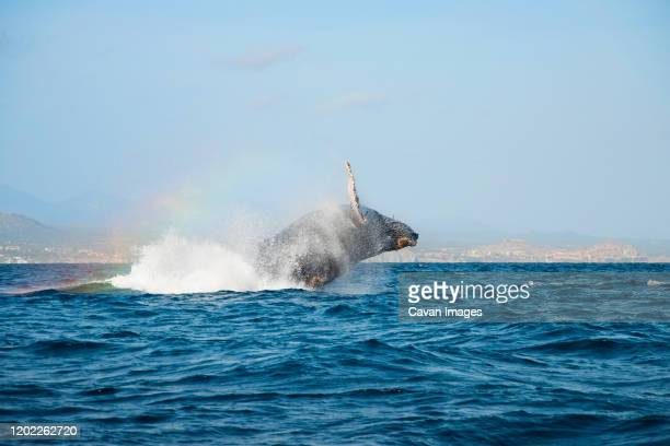 humpback whale breaching in the pacific ocean, rainbow in the mist - ncaa stock pictures, royalty-free photos & images