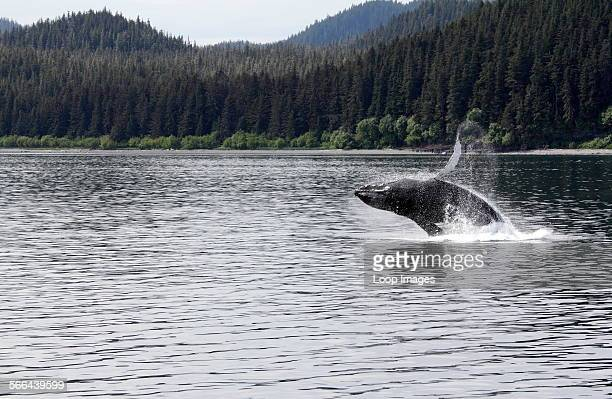 Humpback whale breaching off Icy Straits Point in Alaska.