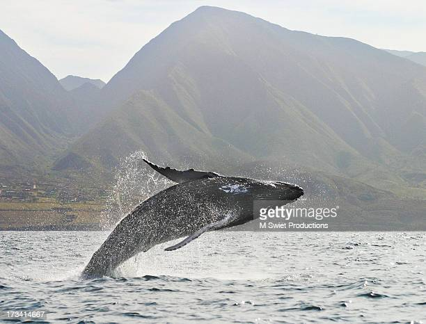 humpback whale breaching - マウイ島 ストックフォトと画像