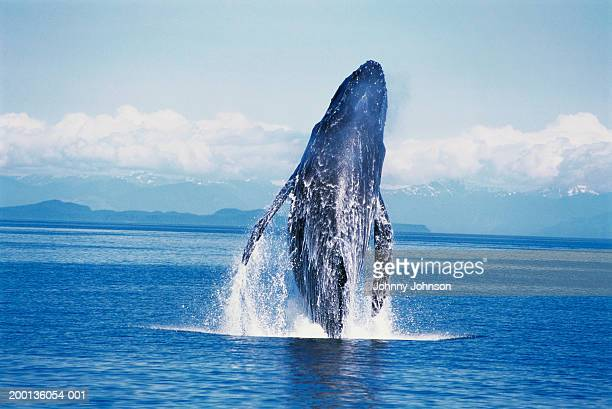 humpback whale  (megaptera novaeangliae) breaching - appearance stock pictures, royalty-free photos & images
