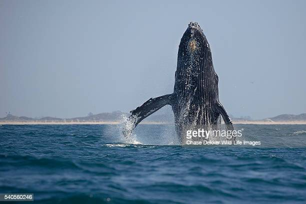 humpback whale breaching - big sur stock photos and pictures