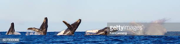 Humpback Whale Breaching Sequence