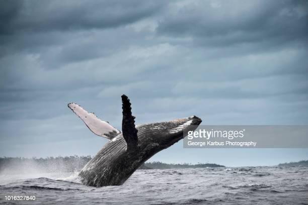 humpback whale (megaptera novaeangliae), breaching, tonga, fiji - wal stock-fotos und bilder