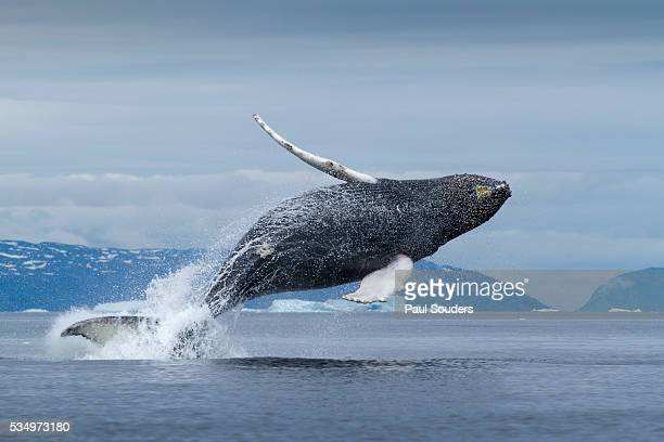Humpback whale calf breaching in Disko Bay in Greenland