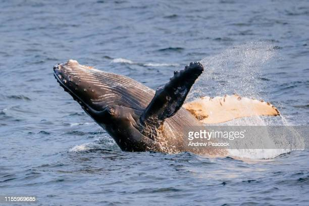 humpback whale calf breaching - aquatic mammal stock pictures, royalty-free photos & images