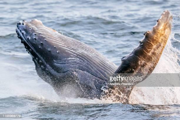 ザトウクジラの子牛の侵入 - ザトウクジラ ストックフォトと画像