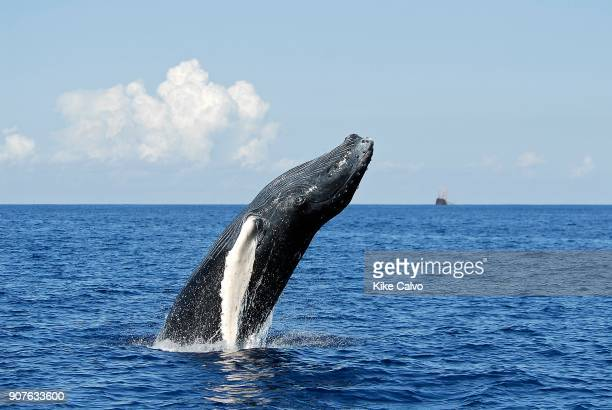 humpback whale calf breaching Polisini Greek Wreck Silver Banks Marine Sanctuary Dominican Republic Caribbean Sea