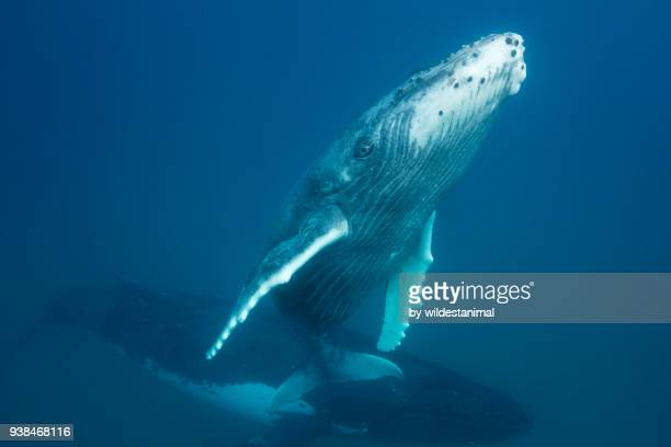 humpback whale calf coming to the surface to breath as it's mother watches from below, kingdom of tonga. - ザトウクジラ ストックフォトと画像