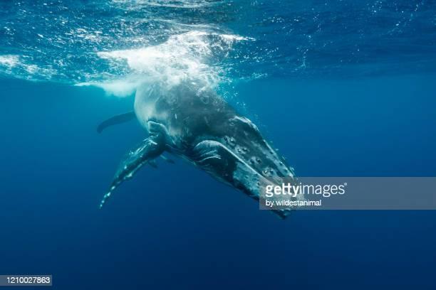 humpback whale calf playing near the surface, kingdom of tonga. - oceano pacífico - fotografias e filmes do acervo