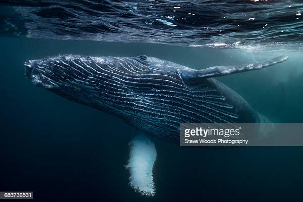 humpback whale calf playing on surface of ocean, port st. johns, south africa - wal stock-fotos und bilder