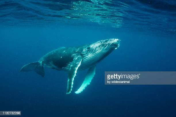 humpback whale calf, vava'u, tonga. - tonga stock pictures, royalty-free photos & images
