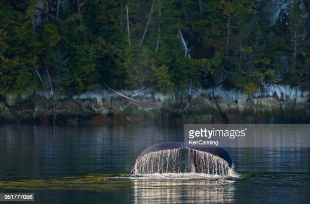 Humpback Whale Diving along British Columbia Coast