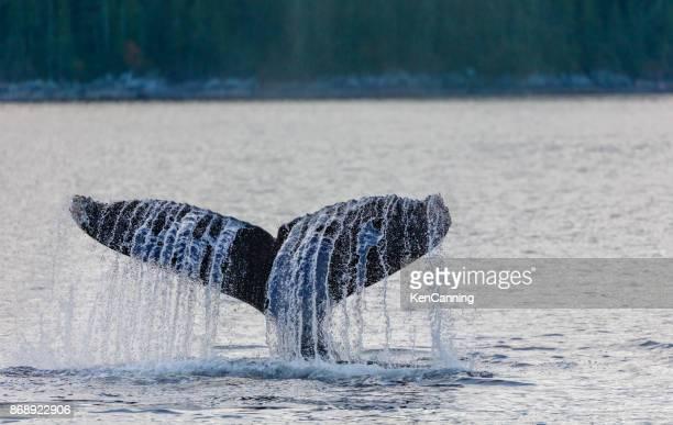 Baleine à bosse plongée sous-marine