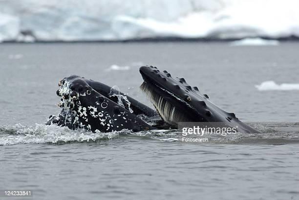 Humpback whale (Megaptera novaeangliae) feeding close to ice bergs. Antarctica