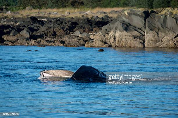 Humpback whale feeding on krill in Stephens Passage Tongass National Forest Southeast Alaska USA