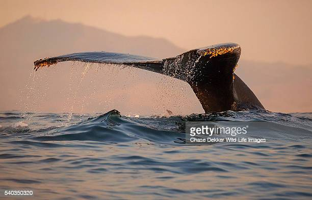 humpback whale fluke - carmel california stock photos and pictures