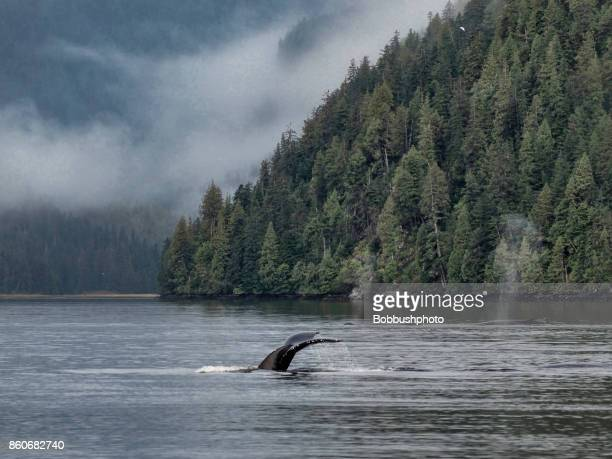 humpback whale, great bear rainforest - british columbia stock pictures, royalty-free photos & images
