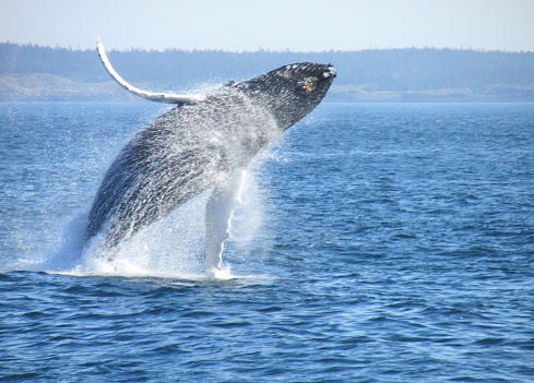 Humpback Whale in the Bay of Fundy 538237153