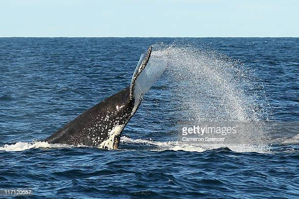 A humpback whale is seen fluking outside Sydney Heads at the beginning of whale watching season during a Manly Whale Watching tour on June 23 2011 in...