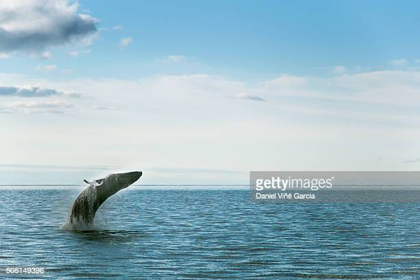 humpback whale jumping at sea against sky - husavik stock photos and pictures