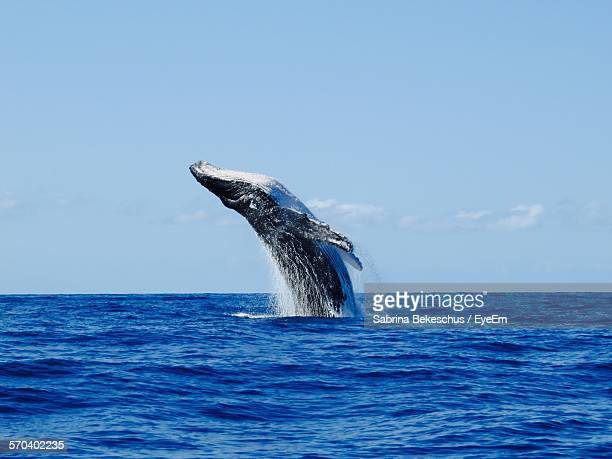 humpback whale jumping at sea against sky - wal stock-fotos und bilder