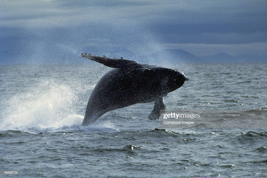 Humpback whale jumping in ocean : Stockfoto
