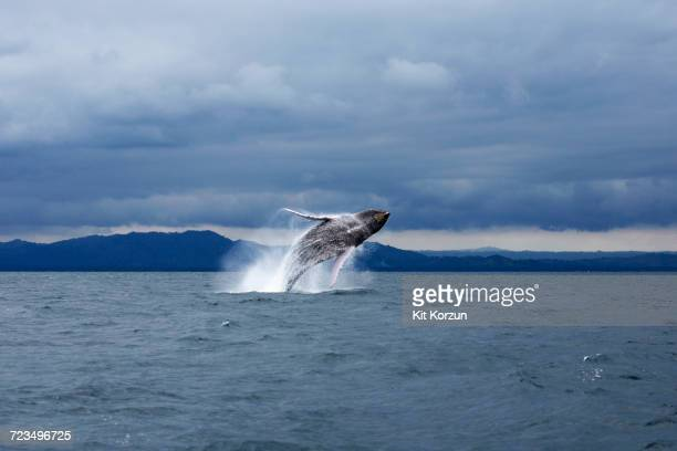 humpback whale jumping in sea against dramatic sky - wal stock-fotos und bilder