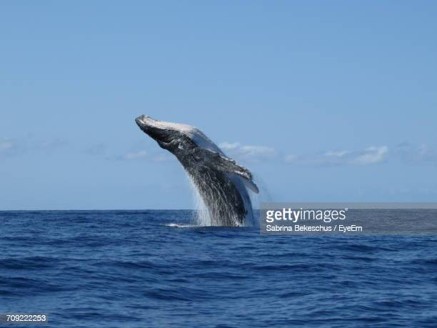 humpback whale jumping in sea against sky - ラハイナ ストックフォトと画像