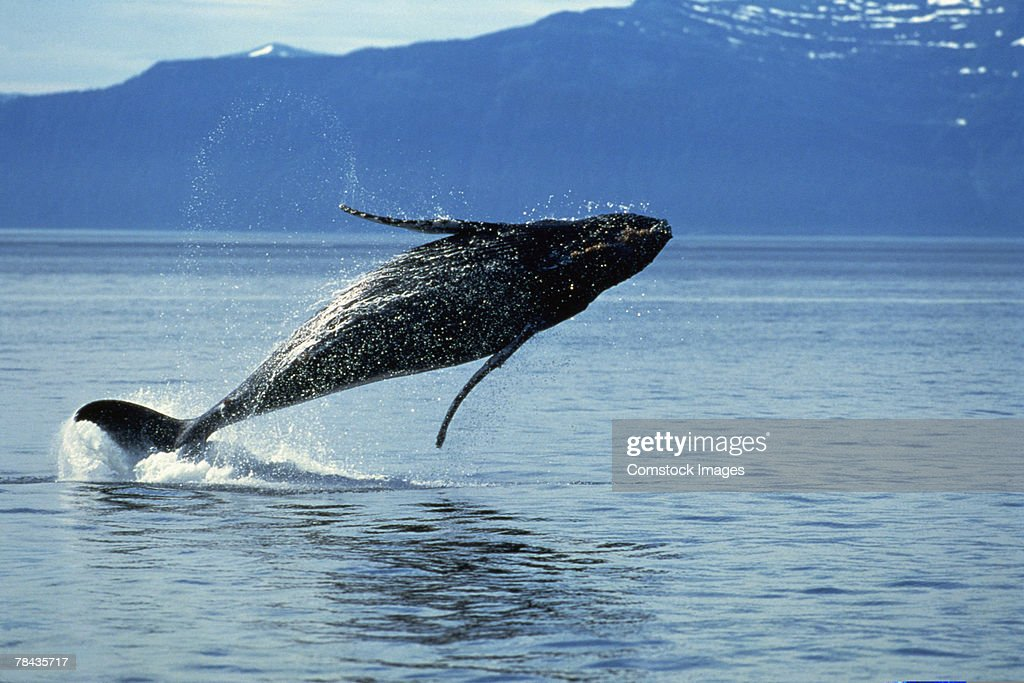 Humpback whale jumping in water : Stockfoto