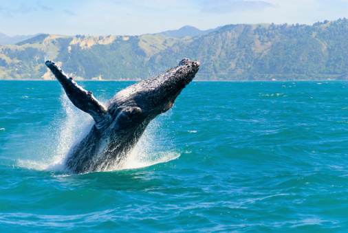 Humpback Whale Jumping Out Of The Water 153479681