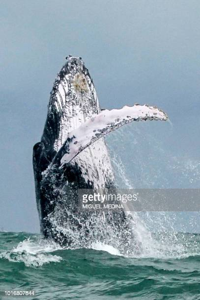 A Humpback whale jumps in the surface of the Pacific Ocean at the Uramba Bahia Malaga National Natural Park in Colombia on August 12 2018 Humpback...