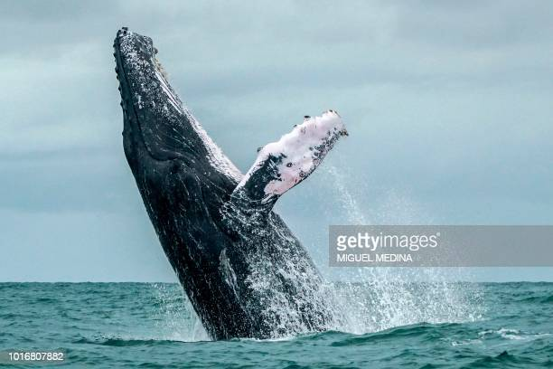 Humpback whale jumps in the surface of the Pacific Ocean at the Uramba Bahia Malaga National Natural Park in Colombia on August 12 2018 Humpback...