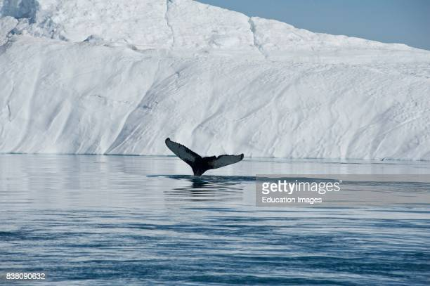 A Humpback whale lifting its tale as it is diving beneath the huge icebergs surrounding it in the Disko bay of west Greenland