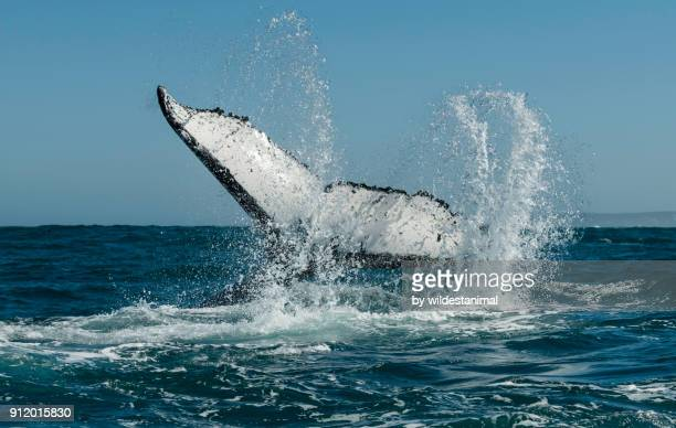 Humpback whale lobtailing(tail slapping). Atlantic Ocean outside Langebaan, South Africa.