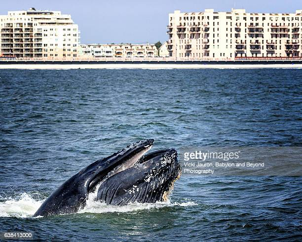 humpback whale lunge feeding against long beach, ny background - rockaway peninsula stock pictures, royalty-free photos & images