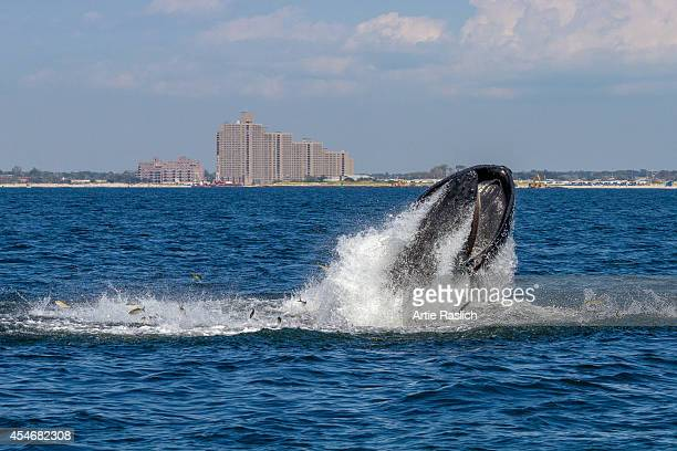 Humpback whale lunge feeding off NYC's Rockaway Peninsula with Rockaway Beach in the background on September 4, 2014 in New York City.