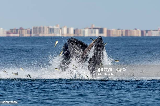 Humpback whale lunge feeding off the waters of Long Beach NY Nassau County on September 15 2014 in New York City
