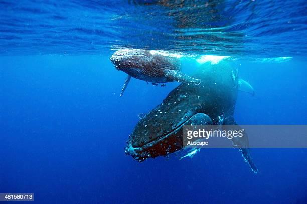 Humpback whale Megaptera novaeangliae and calf underwater Vava u Tonga