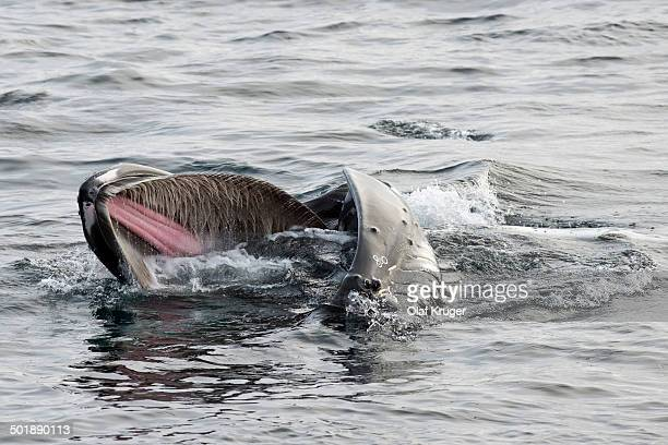 humpback whale -megaptera novaeangliae- foraging at the sea surface, barents sea, nordaustland, svalbard archipelago, svalbard and jan mayen, norway - animal digestive system stock photos and pictures