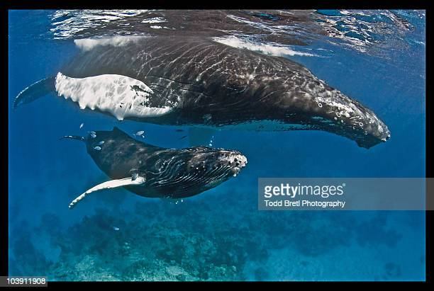 Humpback Whale Mother & Calf