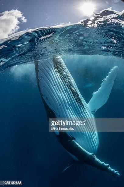 humpback whale - wal stock-fotos und bilder