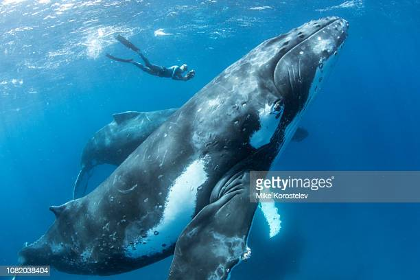 humpback whale - underwater diving stock pictures, royalty-free photos & images