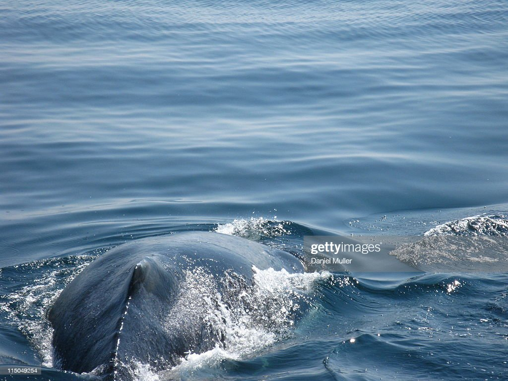 Humpback Whale : Stock Photo