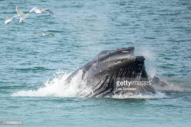 humpback whale - golfo do alasca imagens e fotografias de stock