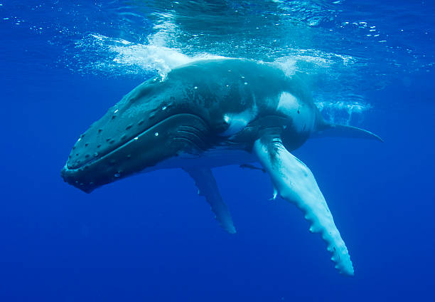 Free whale images pictures and royalty free stock photos humpback whale voltagebd Gallery