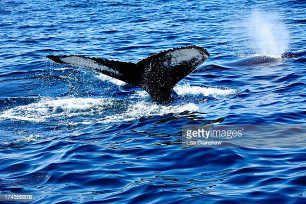 humpback whale - lisa cranshaw stock pictures, royalty-free photos & images