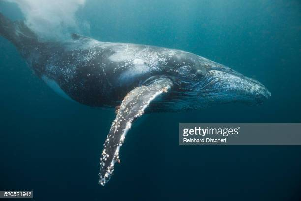humpback whale (megaptera novaeangliae) - ザトウクジラ ストックフォトと画像