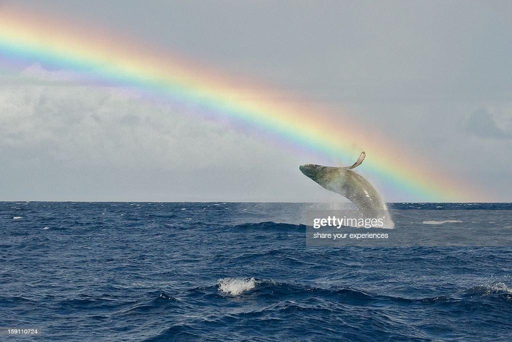 Humpback Whale Rainbow Breach : Stock Photo