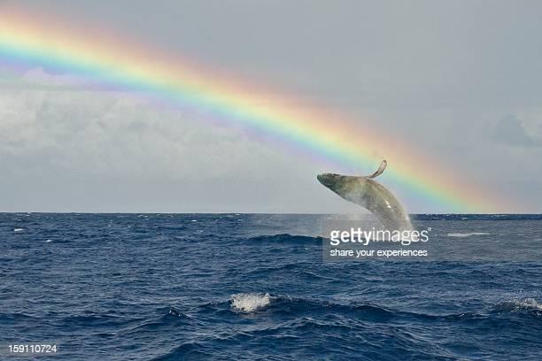Humpback Whale Rainbow Breach